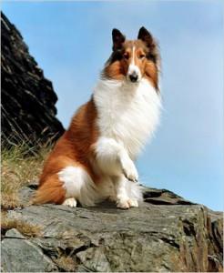 lassie_-2598332-.jpg
