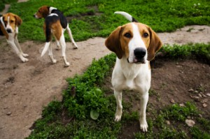 english_foxhound_puppy.ashx.jpg